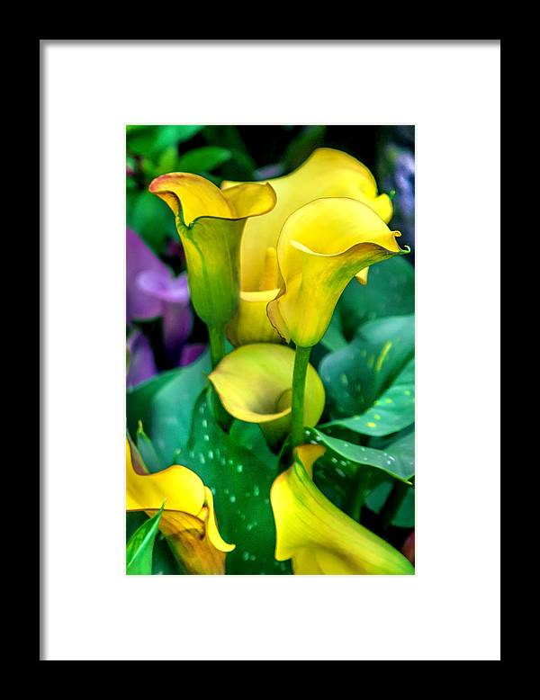 Spring Flowers Framed Print featuring the photograph Yellow Calla Lilies by Az Jackson