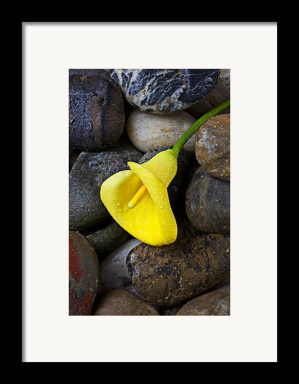 Yellow Framed Print featuring the photograph Yellow Calla Lily On Rocks by Garry Gay