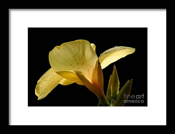 Yellow Framed Print featuring the photograph Yellow Canna by Jeannie Burleson