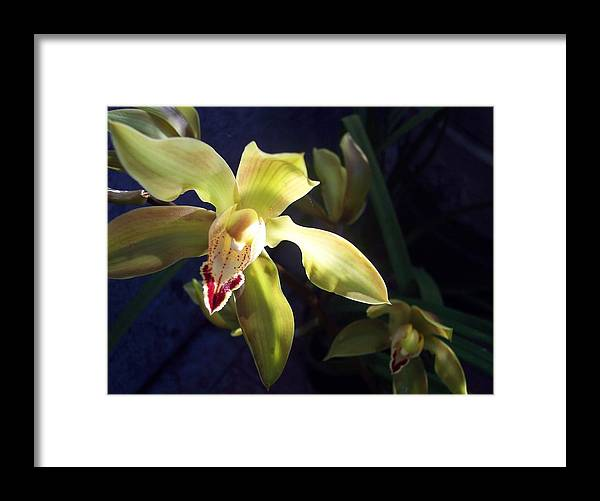 Yellow Framed Print featuring the photograph Yellow Cymbidium And Shadows by Jean Booth