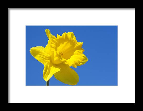Agriculture Framed Print featuring the photograph Yellow Daffodils by Andre Goncalves