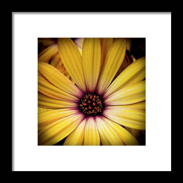 Daisy Framed Print featuring the photograph Yellow Daisy by David Patterson