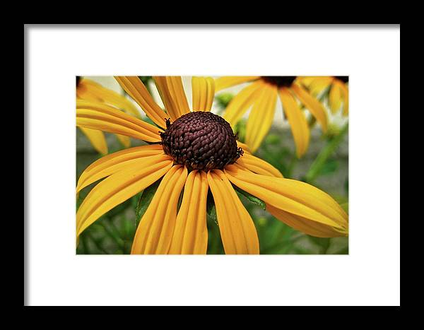 Flower Framed Print featuring the photograph Yellow Daisy I by Michele Stoehr