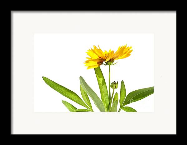 Abstract Framed Print featuring the digital art Yellow Daisy Isolated Against White by Sandra Cunningham