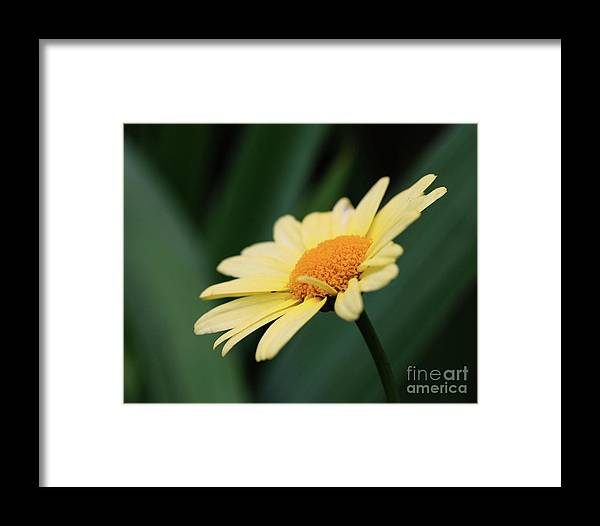 Daisies Framed Print featuring the photograph Yellow Daisy by Smilin Eyes Treasures