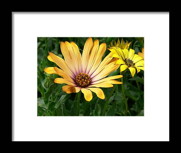 Daisy Framed Print featuring the photograph Yellow Days by Nancie DeMellia