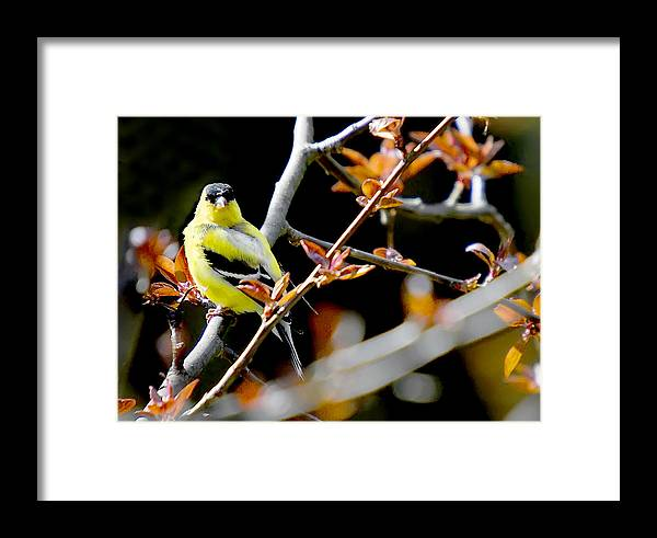 Birds Framed Print featuring the photograph Yellow Finch by Pat Carosone