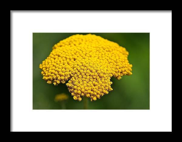 Flower Framed Print featuring the photograph Yellow Flower by Robert Joseph