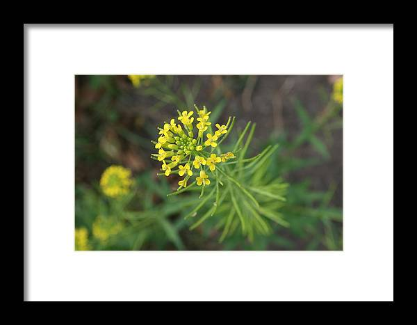 Yellow Flower Framed Print featuring the photograph Yellow Flower Weed by Julie Kindt