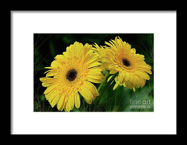 Yellow Gerbera Daisies Framed Print featuring the photograph Yellow Gerbera Daisies By Kaye Menner by Kaye Menner