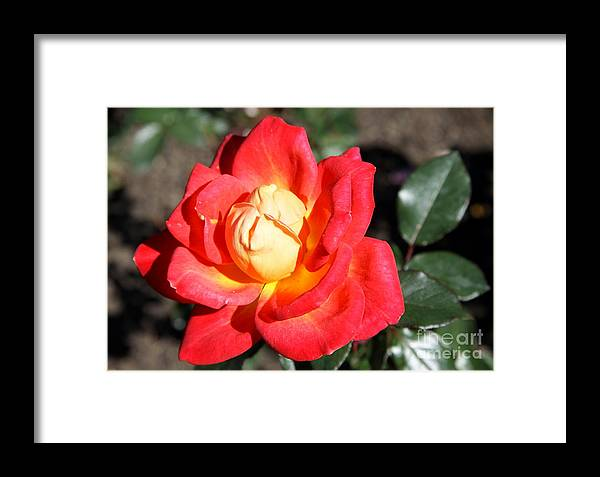 Rose Framed Print featuring the photograph Yellow Heart Rose by Christiane Schulze Art And Photography