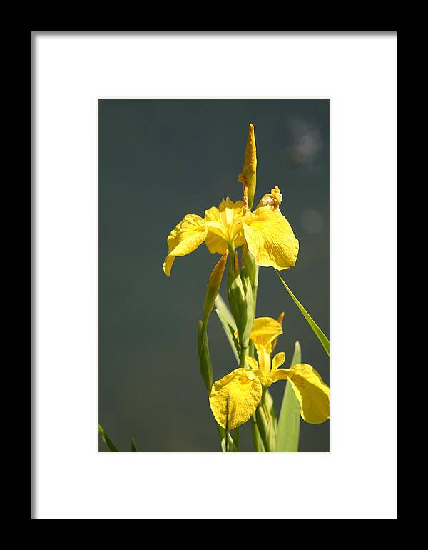 Iris Framed Print featuring the photograph Yellow Iris 2 - Floral by Melodie Douglas