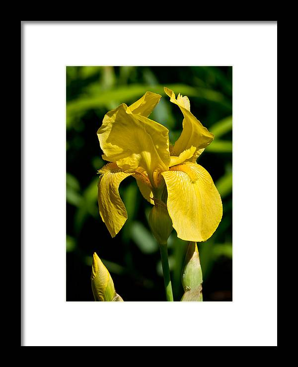 Flower Framed Print featuring the photograph Yellow Iris by Edward Myers
