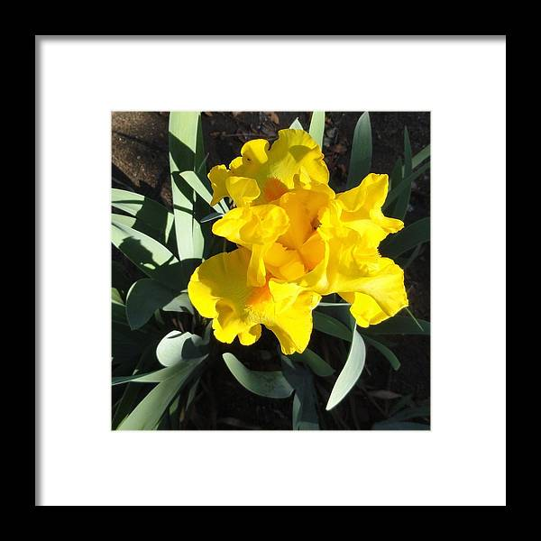 Yellow Framed Print featuring the photograph Yellow Iris by Shannon Grissom