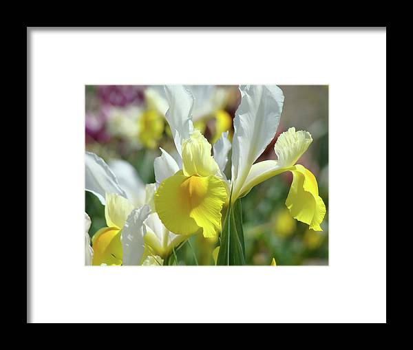 �irises Artwork� Framed Print featuring the photograph Yellow Irises Flowers Iris Flower Art Print Floral Botanical Art Baslee Troutman by Baslee Troutman