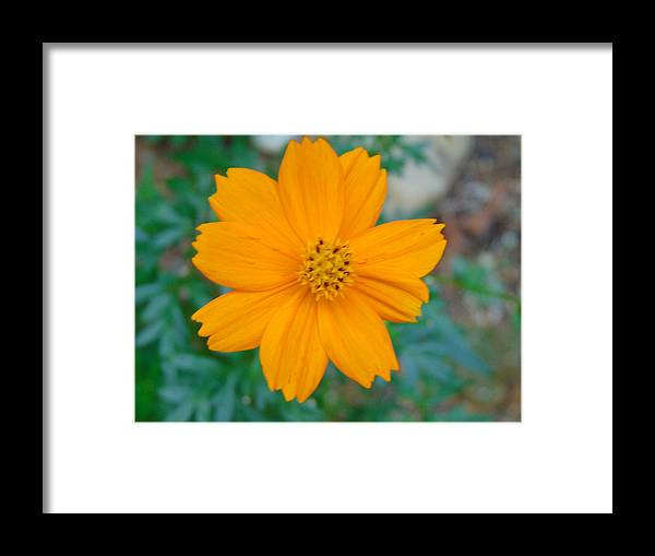 Flower Framed Print featuring the photograph Yellow by Karla Hoffman