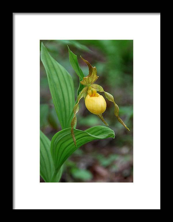 Orchid Framed Print featuring the photograph Yellow Lady Slipper by Alan Lenk