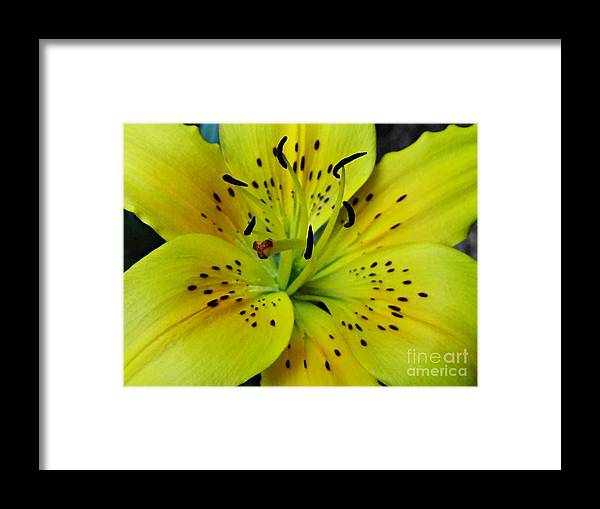Yellow Lily Framed Print featuring the photograph Yellow Lily by Sarah Loft