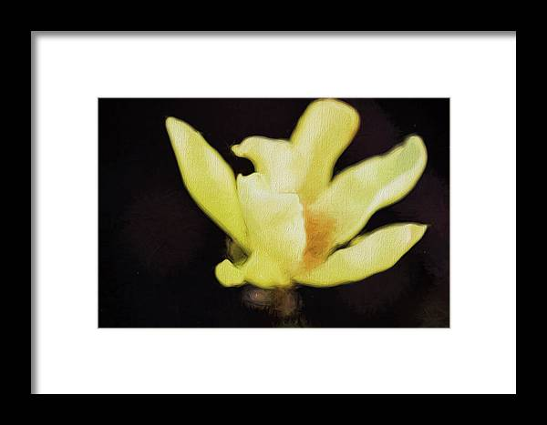 Brattleboro Vermont Spring Framed Print featuring the photograph Yellow Magnolia II by Tom Singleton