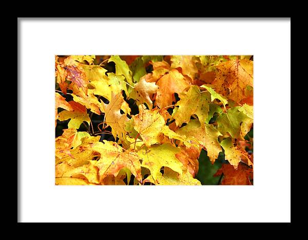 Maple Framed Print featuring the photograph Yellow Maple Leaves by Joni Strickfaden