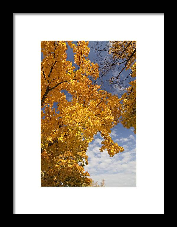Fall Colors Framed Print featuring the photograph Yellow Maple Tree by Sven Brogren