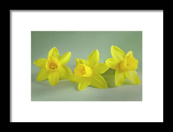 Yellow Mini Narcissus Framed Print featuring the photograph Yellow Mini Narcissus by Iris Richardson