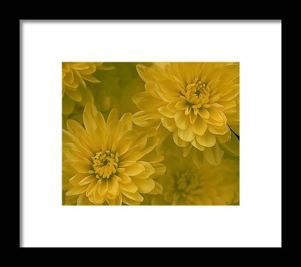 Yellow Mum Art Framed Print featuring the photograph Yellow Mums by Linda Sannuti