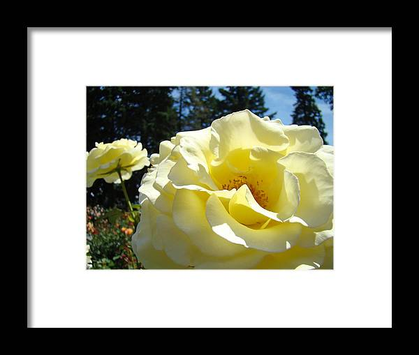 Rose Framed Print featuring the photograph Yellow Rose Garden Landscape 3 Roses Art Prints Baslee Troutman by Baslee Troutman