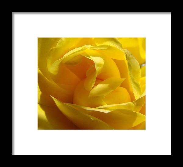 Roses Framed Print featuring the photograph Yellow Rose by Liz Vernand