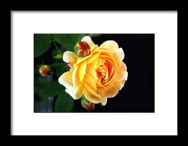 Rose Framed Print featuring the photograph Yellow Rose by Paul Trunk
