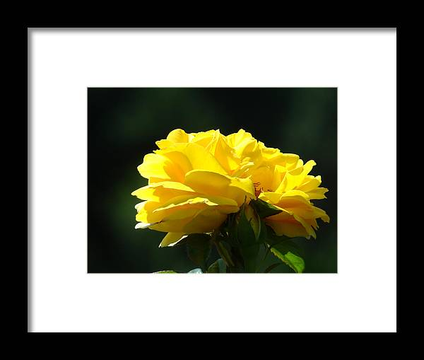 Rose Framed Print featuring the photograph Yellow Rose Sunlit Rose Garden Landscape Art Baslee Troutman by Baslee Troutman