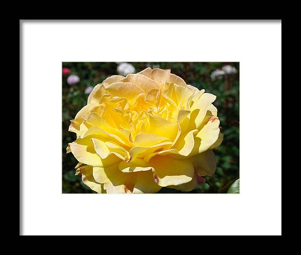 Rose Framed Print featuring the photograph Yellow Rose Sunlit Summer Roses Flowers Art Prints Baslee Troutman by Baslee Troutman
