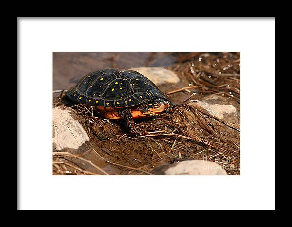 Turlte Framed Print featuring the photograph Yellow-spotted Turtle Crawling Through Wetland by Max Allen