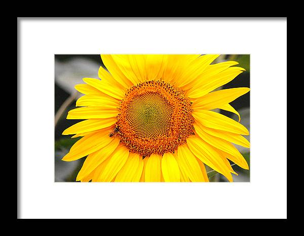 Sunflower Framed Print featuring the photograph Yellow Sunflower With Bee by Amy Fose