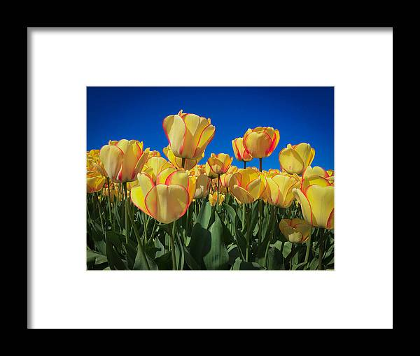 Tulip Framed Print featuring the digital art Yellow Tulips With An Orange Flare by Mia DeBolt