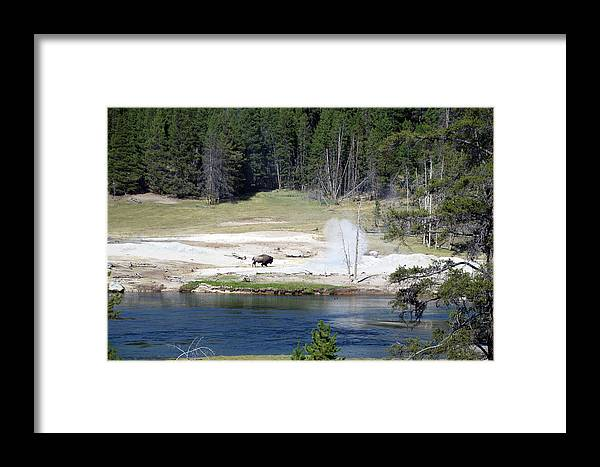 Yellowstone National Park Framed Print featuring the photograph Yellowstone Park Bison In August by Thomas Woolworth