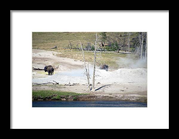 Yellowstone National Park Framed Print featuring the photograph Yellowstone Park Bisons In August by Thomas Woolworth