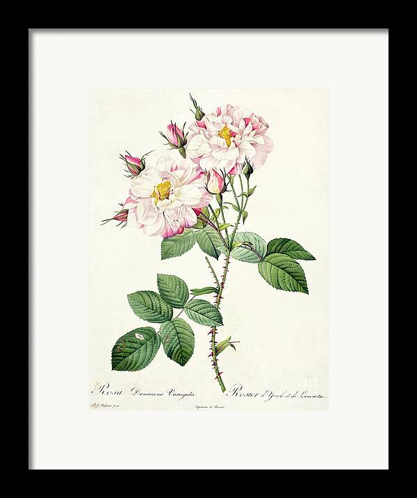 Rosa Framed Print featuring the drawing York And Lancaster Rose by Pierre Joseph Redoute