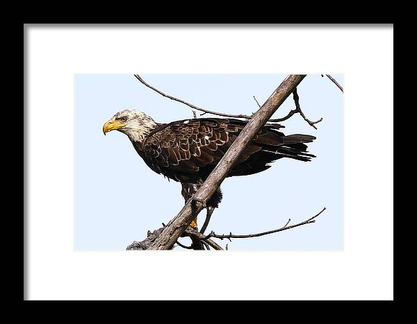 Eagle Framed Print featuring the photograph Young Adult Eagle by Debbie Storie