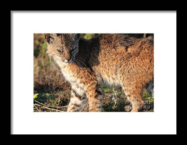 Animal Framed Print featuring the photograph Young Bobcat 01 by Wingsdomain Art and Photography
