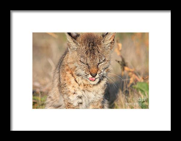 Animal Framed Print featuring the photograph Young Bobcat 02 by Wingsdomain Art and Photography