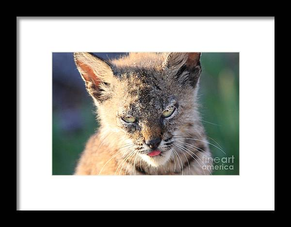 Animal Framed Print featuring the photograph Young Bobcat 04 by Wingsdomain Art and Photography