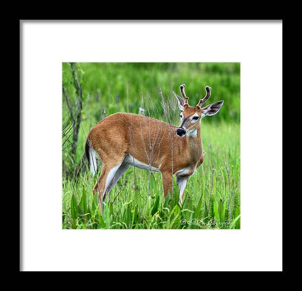 White Tail Deer Framed Print featuring the photograph Young Buck by Barbara Bowen