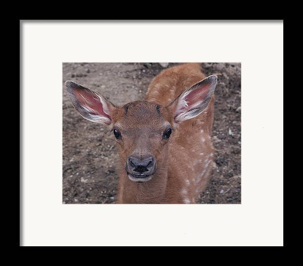 Fawn Framed Print featuring the photograph Young Elk Fawn by Crystal Rolfe