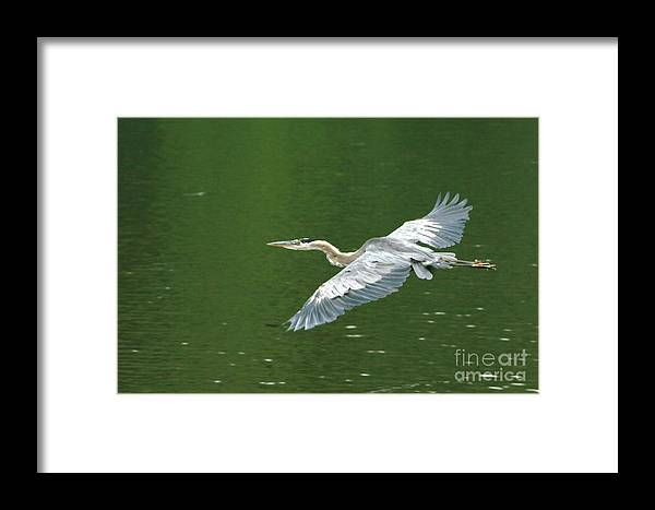 Landscape Nature Wildlife Bird Crane Heron Green Flight Ohio Water Framed Print featuring the photograph Young Great Blue Heron Taking Flight by Dawn Downour