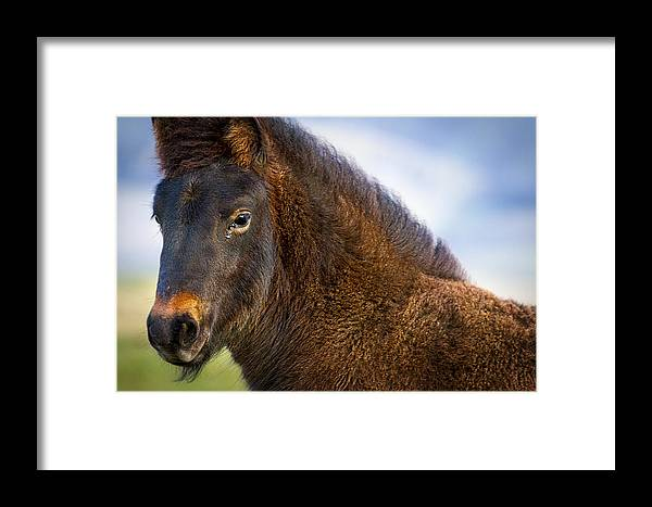 Horse Framed Print featuring the photograph Young Icelandic Horse by Stuart Litoff