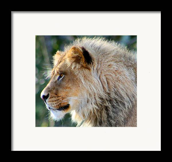 Lion Framed Print featuring the photograph Young King Close Up by Nick Gustafson