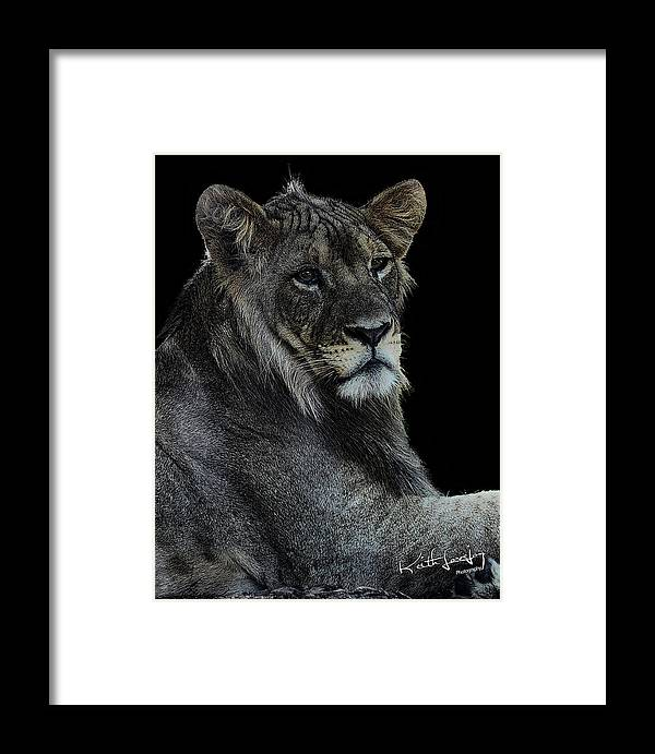Lion Framed Print featuring the photograph Young Lion by Keith Lovejoy
