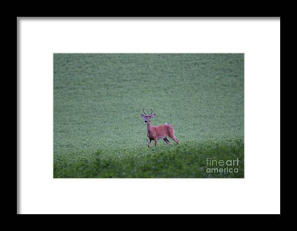 Buck Framed Print featuring the photograph Young Pomfret Summer Buck by Neal Eslinger