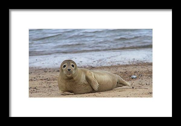 Seal Framed Print featuring the photograph Young Seal Pup On Beach - Horsey, Norfolk, Uk by Gordon Auld